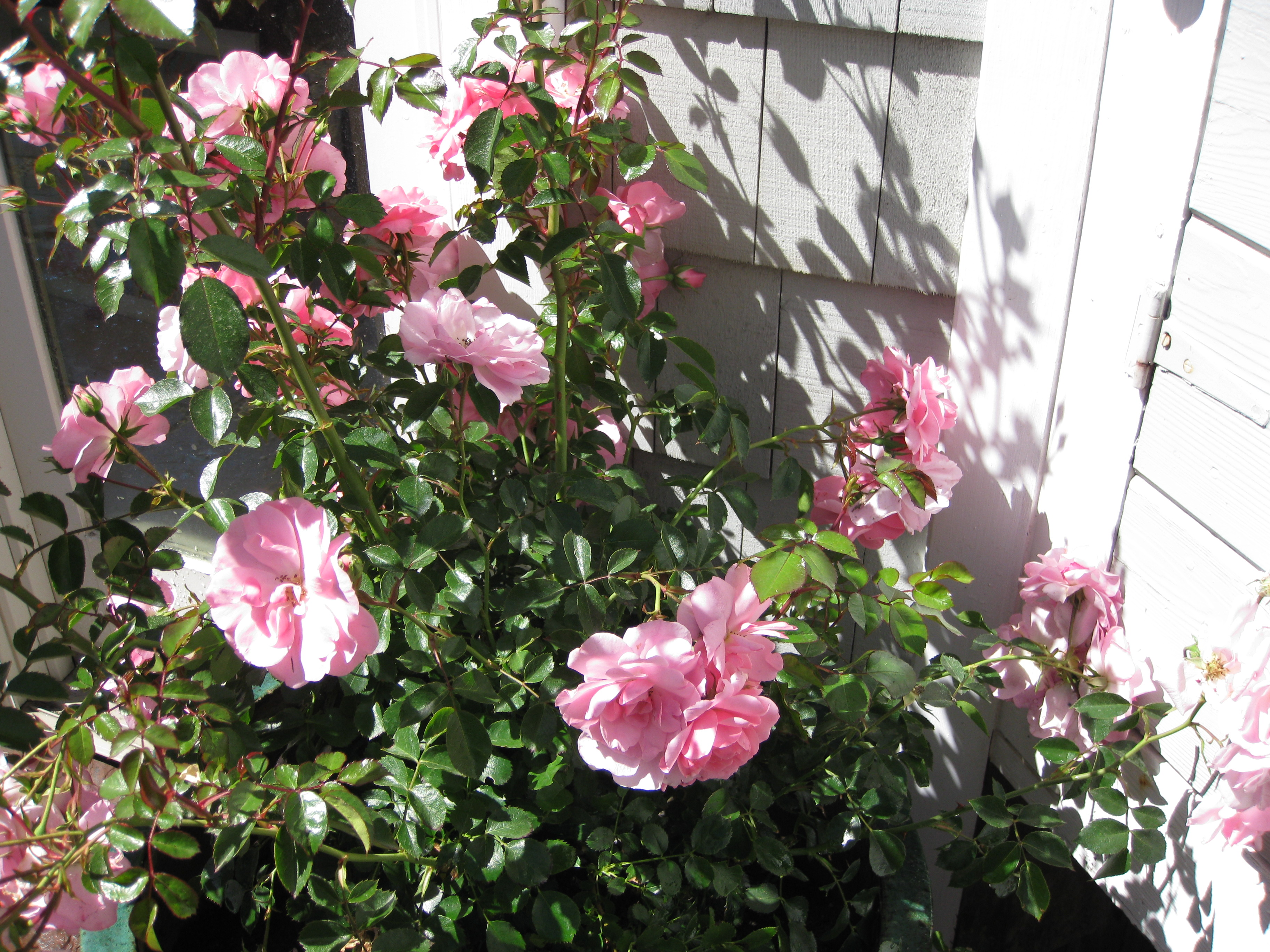 Роза блю мун плетистая 2