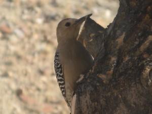 gila-woodpecker-male